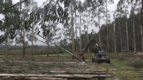 FOTO 4: Taladora de ruedas talando y apilando dos eucaliptos a la vez.